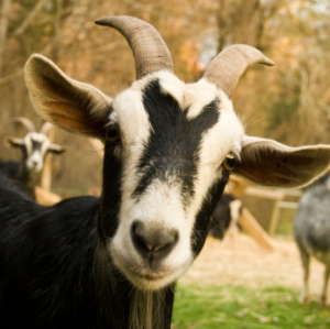 Affable Goats