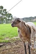 No shearing needed - self shearing wool!