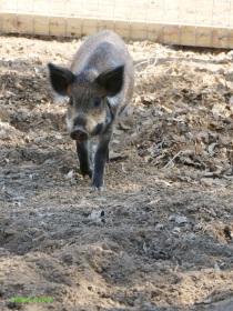 Little pig in a big yard