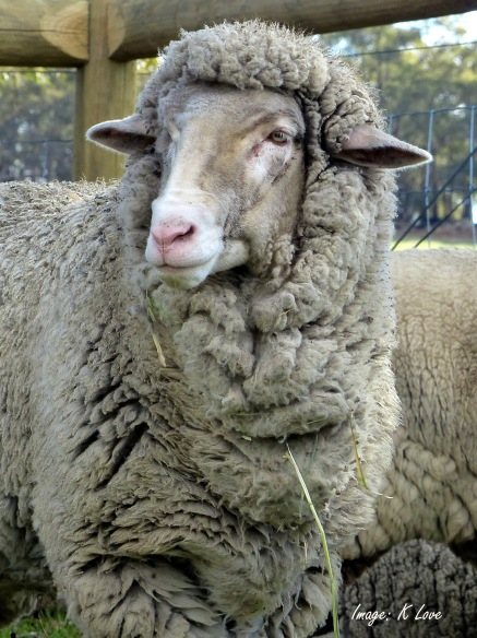 Timmy the lamb has become a handsome adult