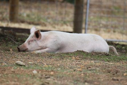 Pig- dreaming
