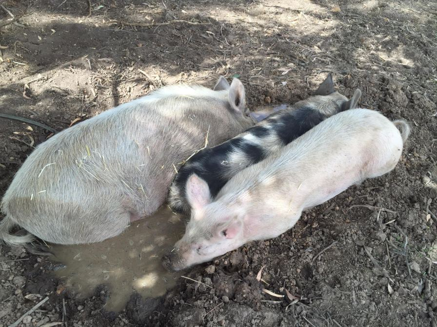 Sharing the mud with Peppa and Rhonda