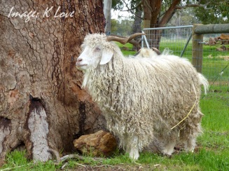 Shaggy in full Angora glory