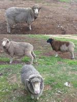 all four sheep