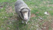Hazel (ewe) enjoys a game of soccer!