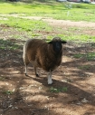 Pretty little Shadow (ewe)