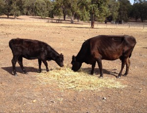 Corona and her calf