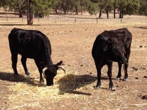 Gleanna and her calf
