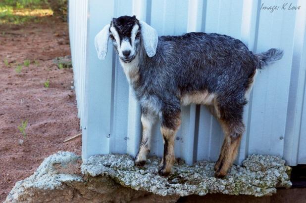 Mimi the mountain goat!