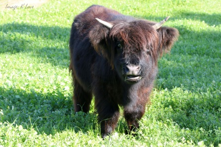 Cutest Cow Ever