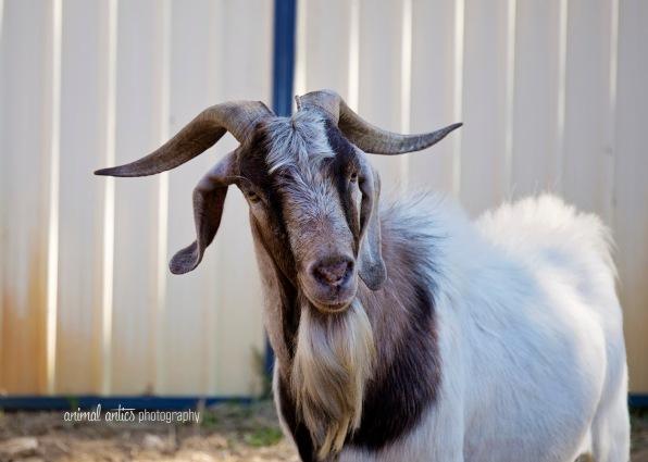 william-billy-goat-002