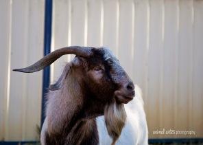 william-billy-goat-003