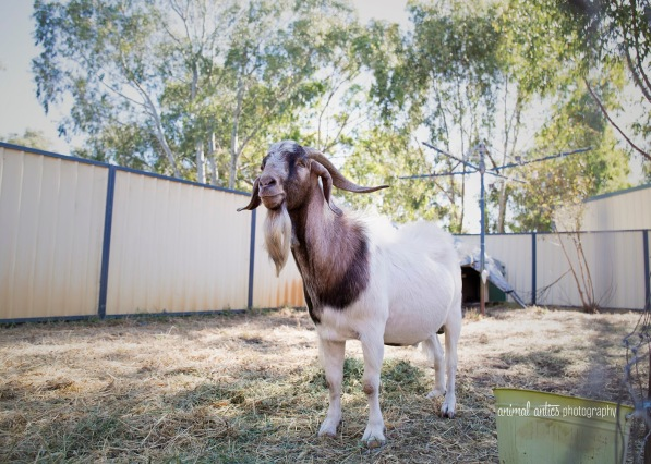 william-billy-goat-004