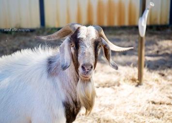 william-billy-goat-006