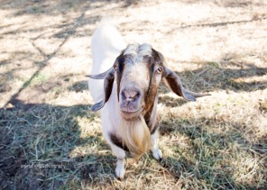 william-billy-goat-007
