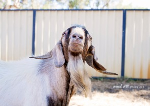 william-billy-goat-011