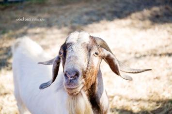 william-billy-goat-013