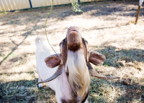 william-billy-goat-014