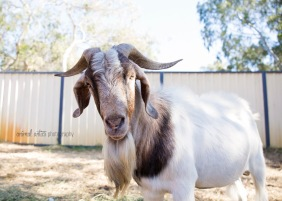 william-billy-goat-015