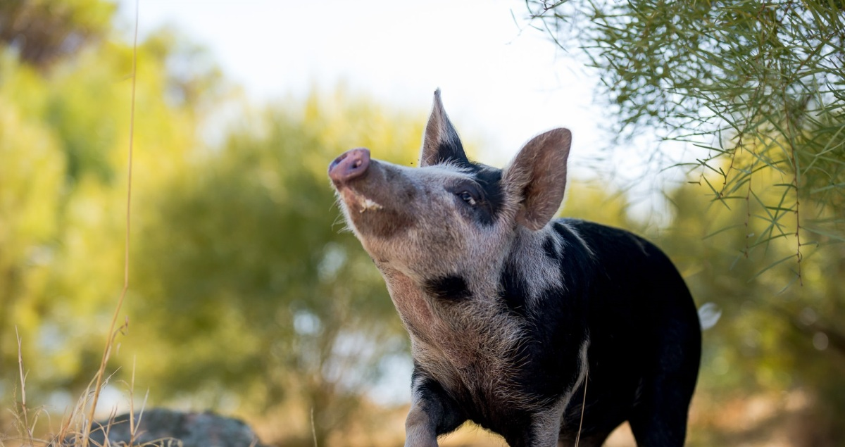 Rehomed! 'Baby' the Pig