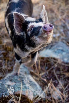 pig_baby-10
