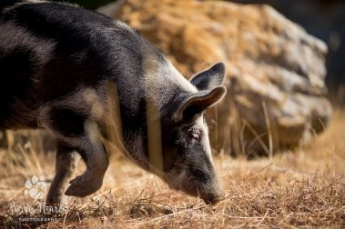 pig_baby-3