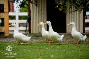 ducks-03
