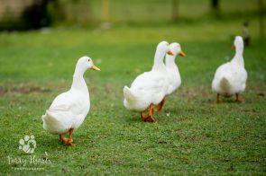 ducks-04