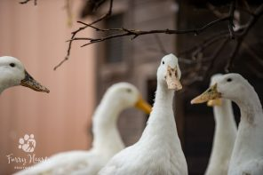 ducks-09