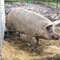 Missy Pig is Looking for a New Home
